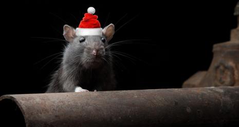 Bilde av rotte med nisselue
